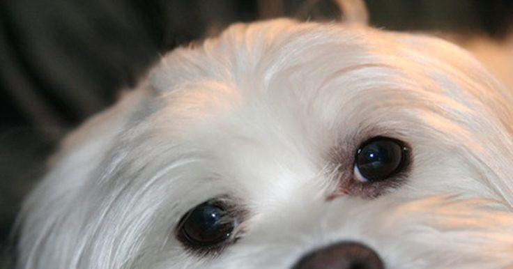Cómo hacer que el pelo de tu perro maltés crezca más grueso. Si estás dejando crecer el pelo de tu perro maltés para un espectáculo, querrás que crezca grueso y lujoso. Todo, desde el uso de las herramientas correctas, a las técnicas apropiadas impactan el crecimiento del cabello, así que asegúrate que estés haciendo todo correctamente para que el resultado sea un cabello lo más grueso posible.