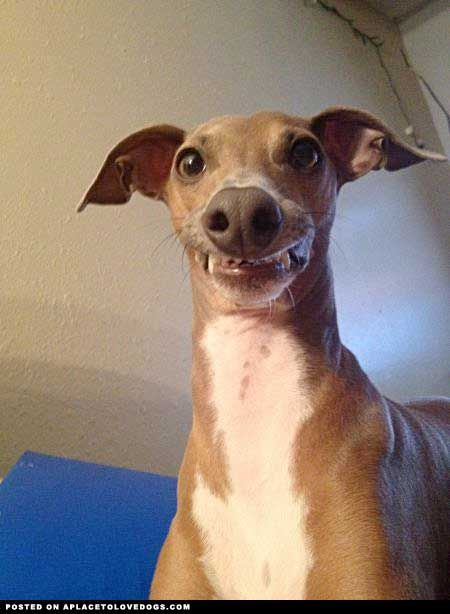 italian greyhound smiling - photo #1