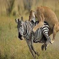 Predadores caçando