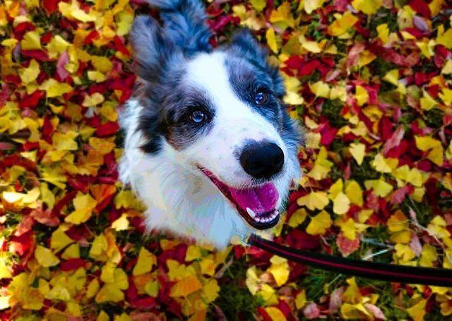 🐶🐶🐶たまにはワンコもいいでしょう🐶🐶🐶#bordercollie#bluemerle#dogs#dog#dogstagram#lovedog#dogsofinsta#dogsofinstagram#photo#pet#family#doglife#photography#photographer#ボーダーコリー#いぬすたぐらむ#愛犬#犬#ブルーマール#ペット#写真#風景#癒し