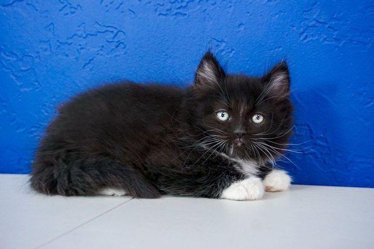 Ragdoll Kittens for Sale Near Me in 2020 Ragdoll kittens