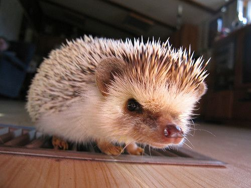 Hedgie Hog, Animal Lovers, Hedgehogs Baby, Grumpy Hog, Furries Friends, Angry Hedgehogs, Adorable Hedgehogs, Box Pies, Adorable Animal