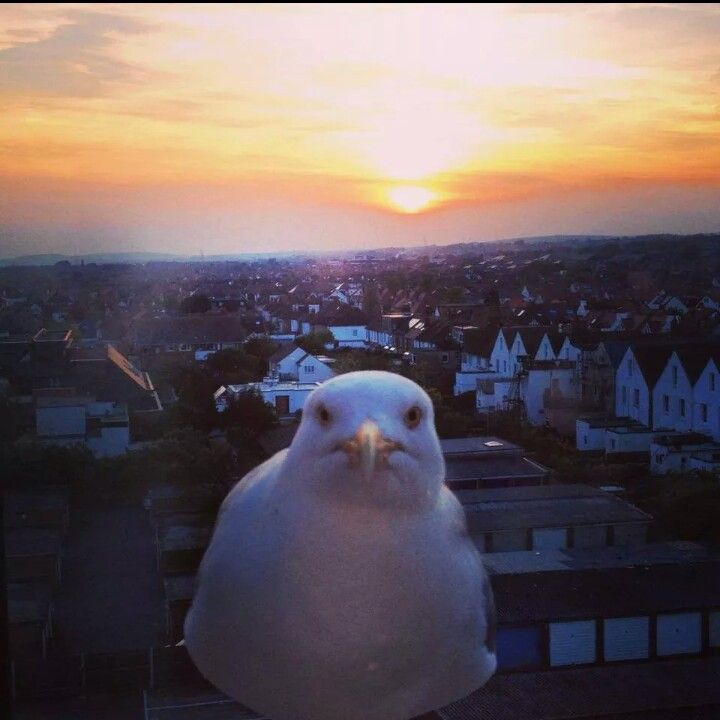 BOO! Seagull, sunset. BRIGHTON UK.