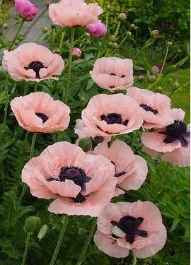 Papaver 'Princess Victoria Louise' - full sun & interplanted with Iris = beautiful.