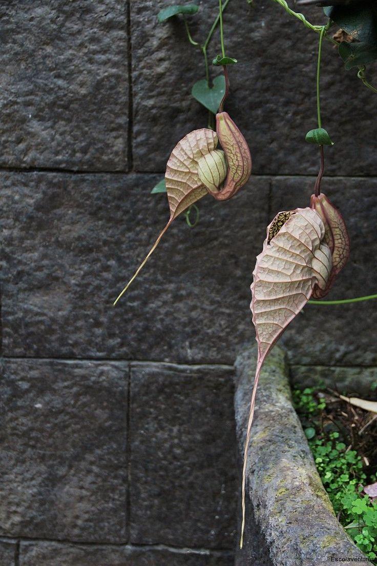 Aristolochia grandiflora, aka 'Snail Flower Vine'.