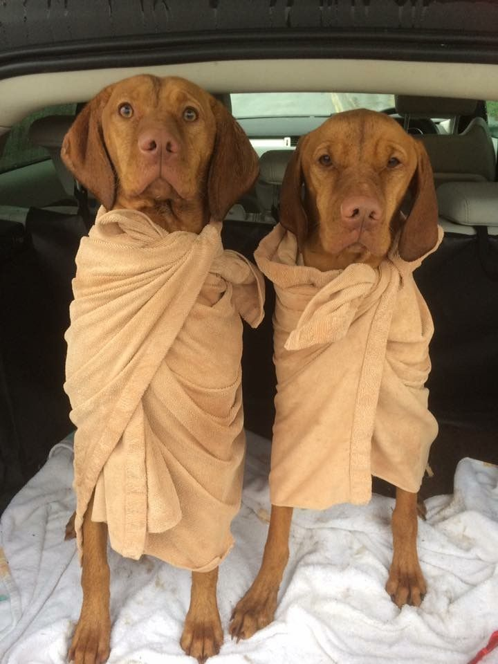 Vizslas Set for a Toga Party