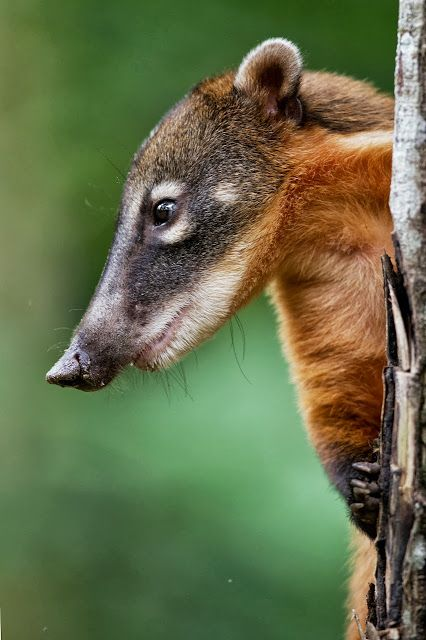 Coati (saw these guys at Lincolnshire wildlife park/parrot rescue recently-fascinating to watch! Lemurs, meercats, tigers, otters, tortoises, and loads of parrots, macaws etc. too.)