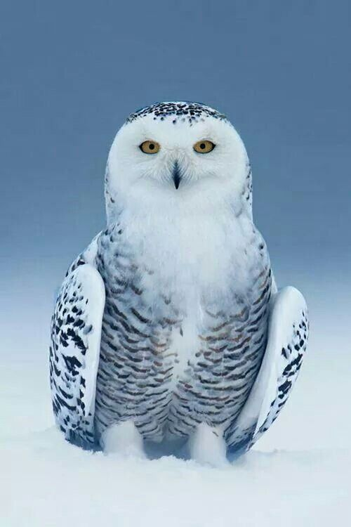 Owls are so gorgeous!