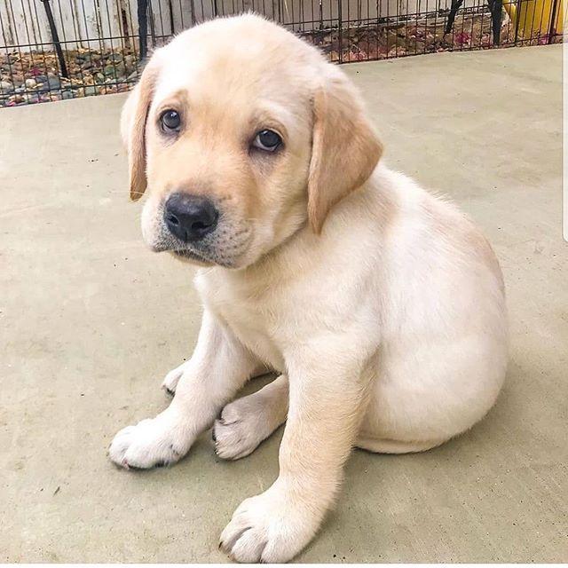 Lab Mixes Landseer Dog Lab Puppy Black Labrador