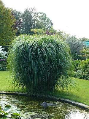 Miscanthus giganteus Miskant olbrzymi - Rośliny wodne, Lilie wodne | Sklep