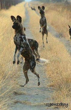 African Wild Dogs. #animals #wildlife #enangered