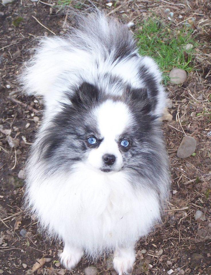 Blue Merle Pomeranian with beautiful blue eyes