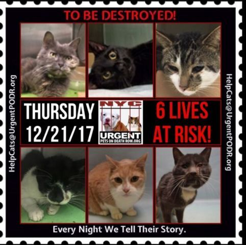 "TO BE DESTROYED 12/21/17 - - Info   Please share View tonight's list here: http:// nyccats.urgentpodr.org/ tbd-cats-page/. The shelter closes at 8pm. Go to the ACC website( http:/www.nycacc.org/ PublicAtRisk.htm) ASAP to adopt a PUBLIC LIST cat (noted with a ""P"" on their profile) a… CLICK HERE FOR ADDITIONAL INFO/P...-  Click for info & Current Status: http://nyccats.urgentpodr.org/to-be-destroyed-32017/"