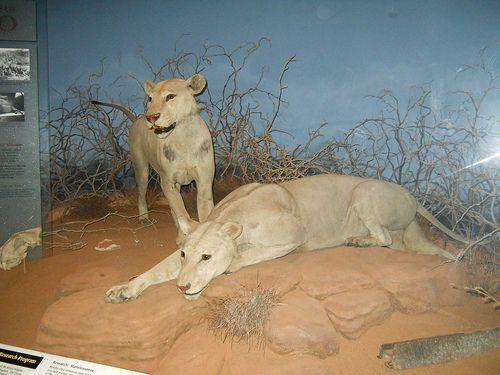 GRAN HISTORIA SOBRE LOS COMEDORES DE HOMBRES. DSCN3663  - KENIA  AFRICA