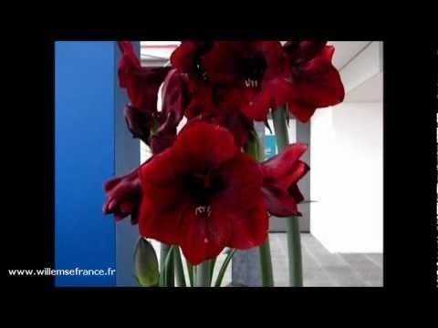 L'#amaryllis géant de couleur rouge disponible chez Willemse a un développement particulièrement rapide.