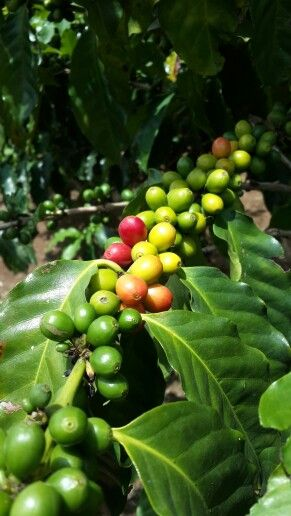 Coffee grains - Costa Rica