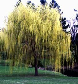 Plant Trees, Plant Trees, Plant Trees: Beautiful Natural, Shades Trees, Plants Trees, Weeping Willow, Adorable Trees, Backyard, Plants & Trees, Favorite Trees, Back Yard
