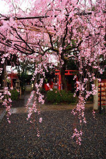 京都水火天満宮の見事な満開のしだれ桜