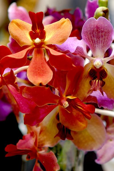 ORCHID+++