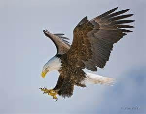 Bald Eagles, Bald Eagle Pictures, Bald Eagle Facts National ...