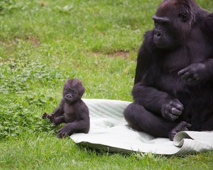 Heartwarming Photos of SF Zoo's New Baby Gorilla and Her Doting Grandmother - My Modern Metropolis