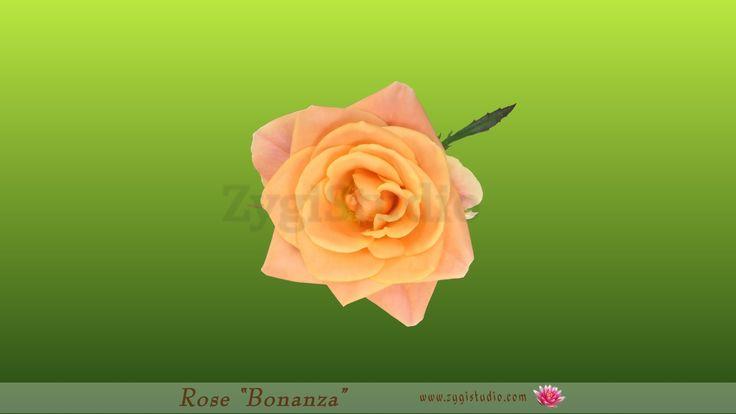 "Seamless Rotating and Opening ""Bonanza"" Rose."