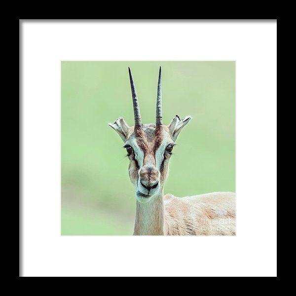 African Thomson's Gazelle Eudorcas Thomsonii Framed Print