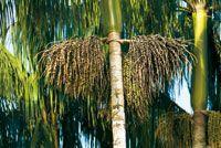 Frutos de la palma asaí, Euterpe oleracea, especie promisoria para la producción de aceite.