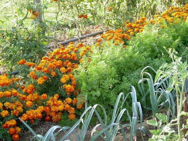 """Des fleurs au potager ? Lorsqu'on évoque les associations, on pense spontanément: """"les poireaux qui préfèrent les fraises"""", mais plus rarement aux fleurs. Et c'est bien dommage car elles méritent..."""