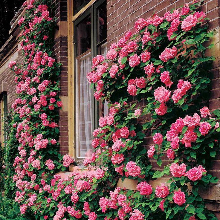 Вьющиеся розы (59 фото): уход за аристократической красавицей http://happymodern.ru/vyushhiesya-rozy/ «Живая» стена вдоль здания восхитит великолепным цветением и подарит прохладу