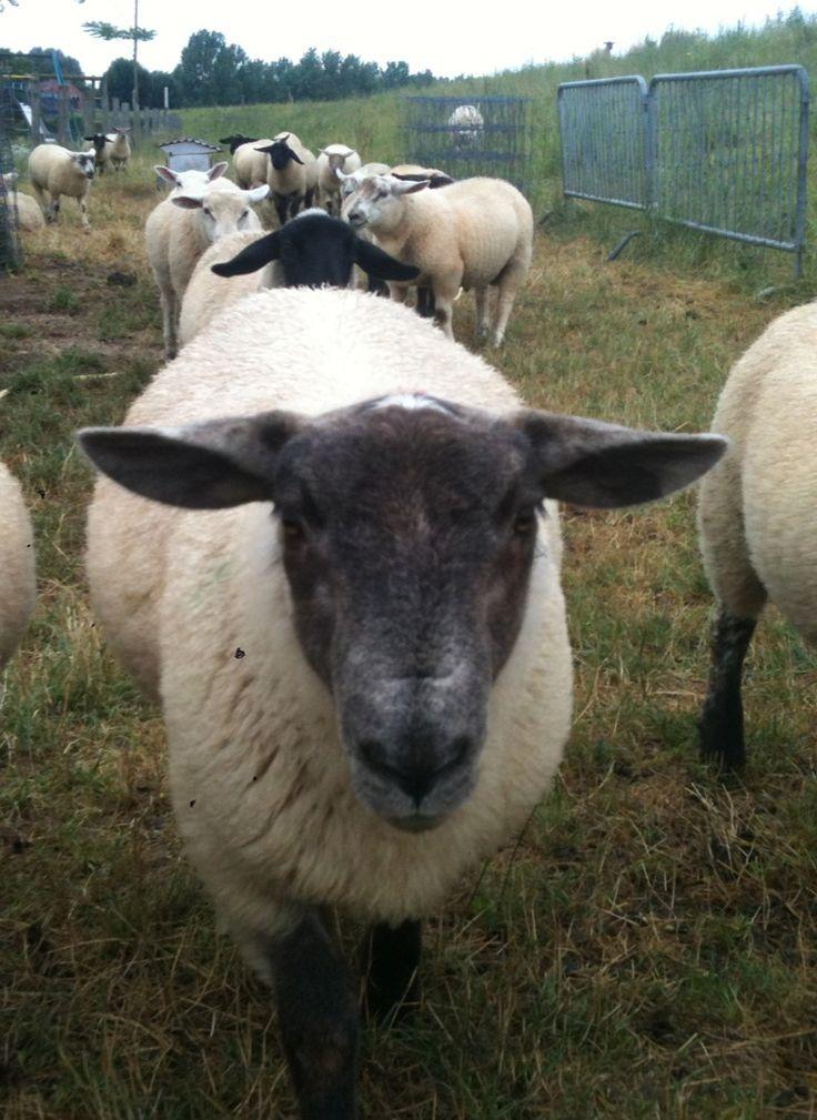 gevaar ! er is een nieuwe schapenbende ze zijn al met 100 er kom waarschijnlijk nog een schapen invasie niemand is veilig!