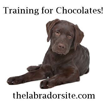 Do you have a chocolate labrador retriever in need of training? This article might be of interest!