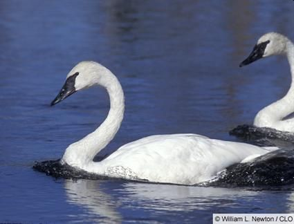 Trumpeter swan. Cygnus buccinator. Locally com. WV on freshwater lakes and agriculture lands west of Cascades, rare east. Breeds in Alaska/BC boreal forest.