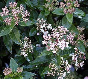 17 ideas about arboles para jardin on pinterest rboles - Poda del laurel ...