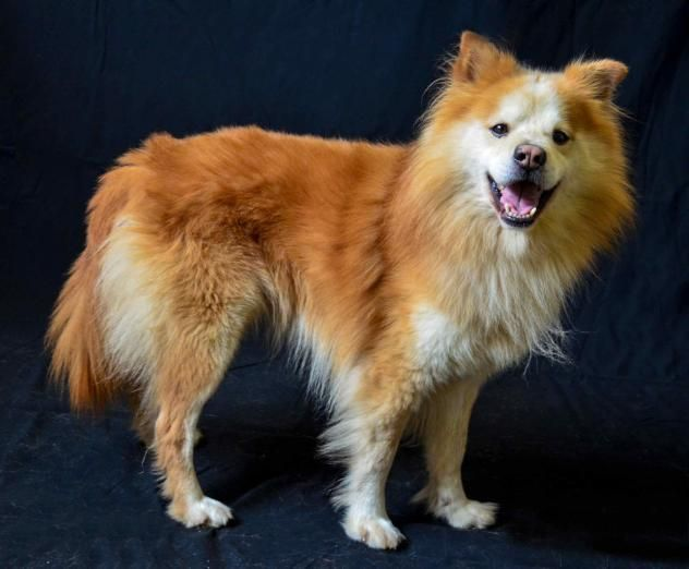 Simon Dog Pomeranian Chow Chow Mix Adult Male Medium