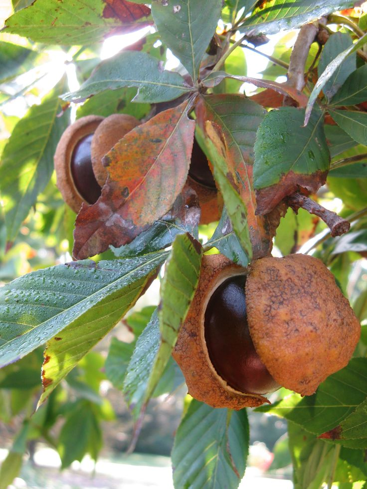 Buckeye nuts hanging from the tree in the Grace Arents Garden at Lewis Ginter Botanical Garden in Richmond, VA.