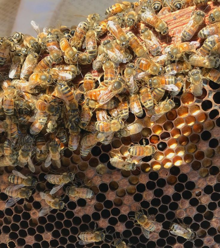 Can you successfully spot this weeks queen?! . . Queen bees have different stingers than other bees in the hive. They are smooth so that the queen can successfully kill off possible rivals when she first hatches out of her cell. Male honey bees (Drones) actually don't have a stinger at all and female worker bees have a barbed stinger! . . . . . . . #monsanto #bethedifference #hawaiibees #beekeeper #beekeeping #savethebees #beethedifference #monsantohawaii #bees #queenbee #genetics…