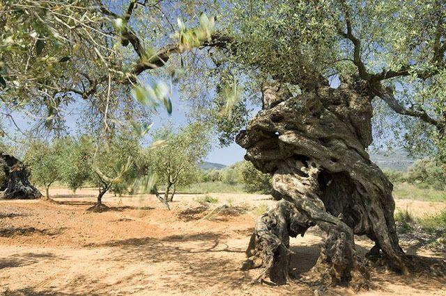 Olivos Monumentales en España. Haciendo un recorrido por los campos y bosques españoles para acercaros estos olivos monumentales, testigos silenciosos del paso del tiempo, protagonistas de leyendas y tradiciones ancestrales. Os invitamos a descubrir su belleza, son excepcionales y únicos.