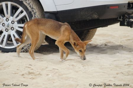 This dingo was not worried by the cars and people around.