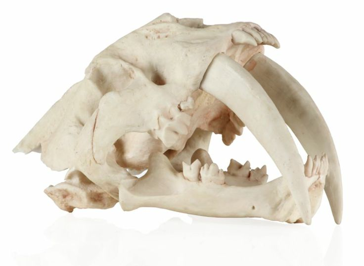 Saber Tooth Tiger Skull | Global-garden | Dining-room | Inspiration | Z Gallerie ... Dooood!   How can I work a saber tooth tattoo onto my head? (WO it looking lame, if possible...) hehee