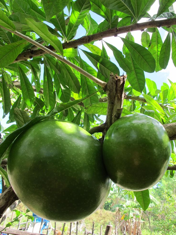 Calabash tree fruits (Crescentia cujete)