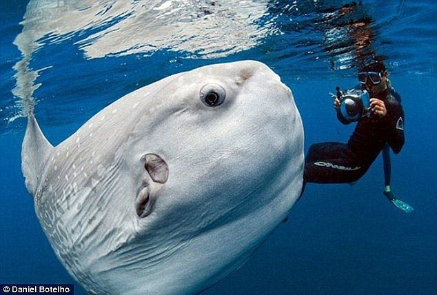 In this separate photo from 2012 photojournalist Daniel Botelho came across the moon-shaped Mola mola while snapping pictures of blue whales...