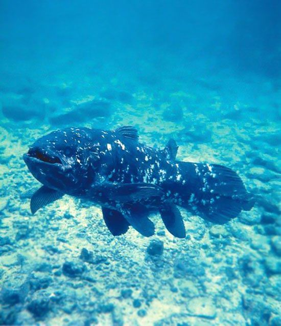 Coelacanth (living fossil, thought to have been extinct)