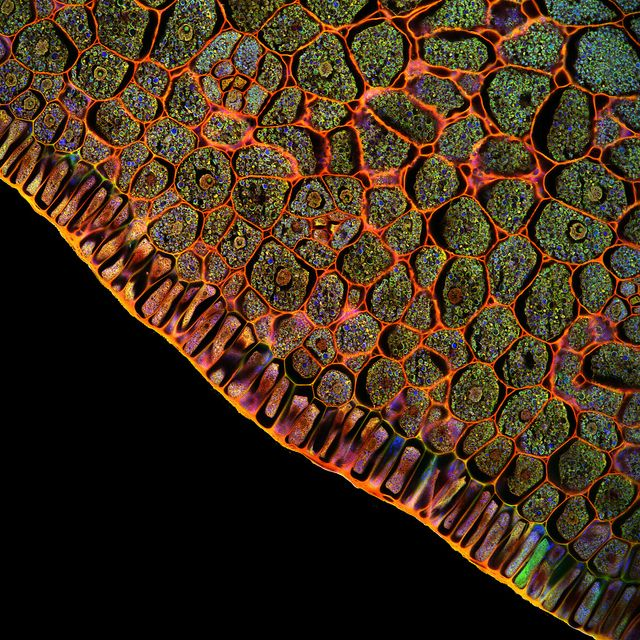 Fernan Federici, Confocal microscopy of plants (specimen microsection from Jim Haseloff's colllection).