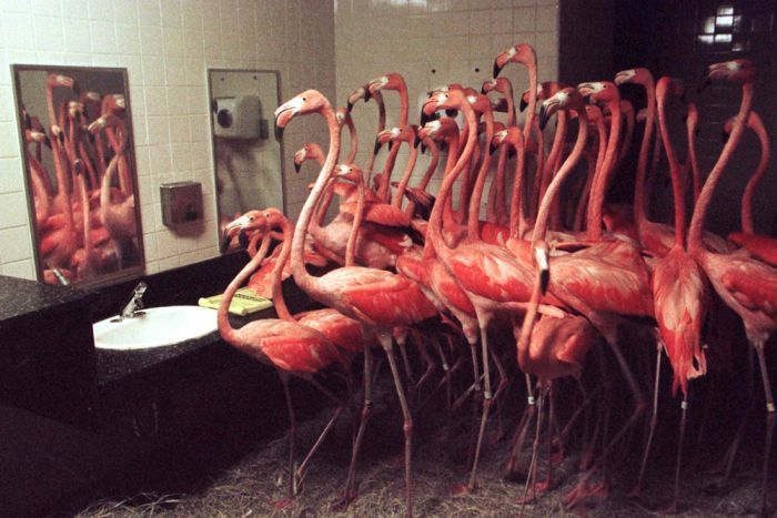 Flamingoes confined to the bathroom during hurricane Andrew in 1998 So funny