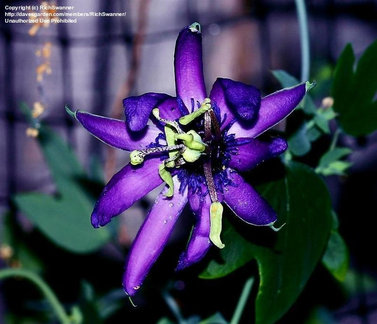passion flower 'witchcraft': Flowers Witchcraft, Passion Flowers Paintings, Flowers Paintings Ideas, Gardens Fab Flowers
