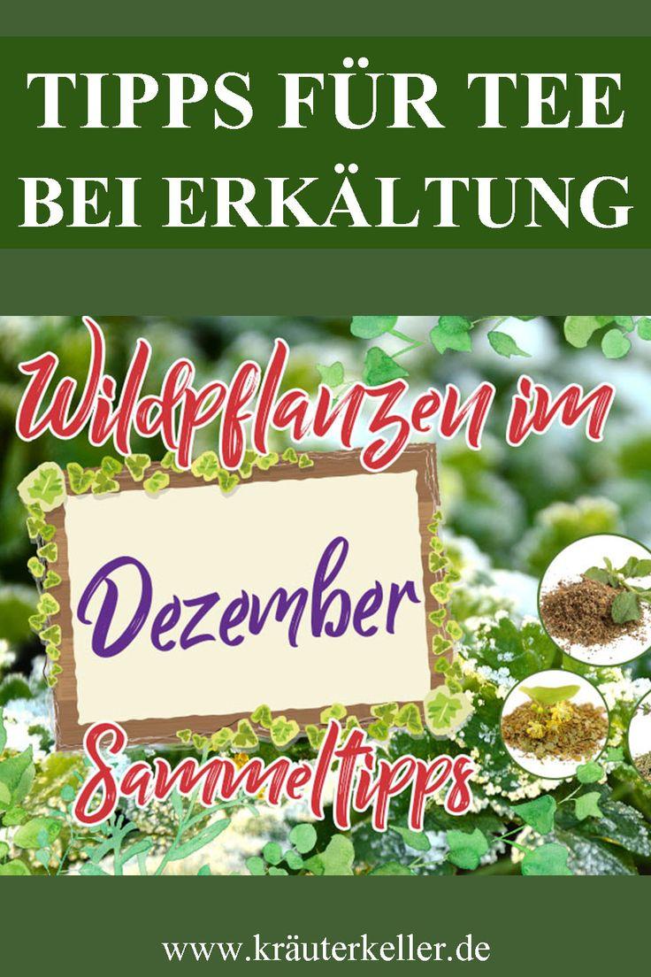 Wildkräuter im Dezember und Tipps für Tee bei Erkältung
