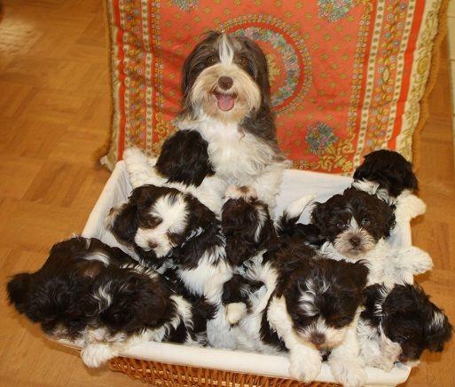 Chocolate Havanese Dogs For Sale, Chocolate Havanese puppies, Chocolate Havanese puppies for sale California