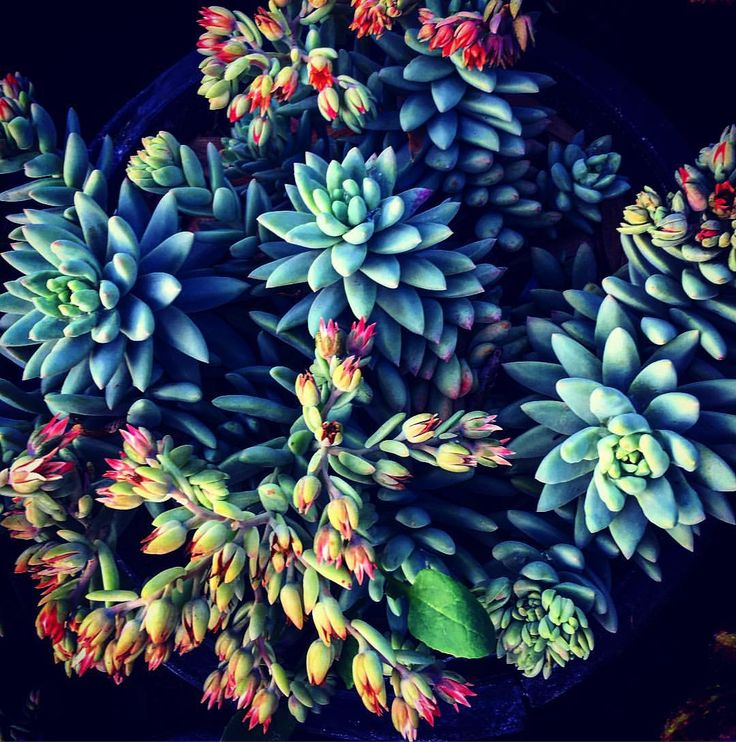 Saw this beautiful succulent at the nursery today and just couldn't resist!! Not to sure of the name of it. Can you identify it? Tag us in your post #petalsinfullbloom #bloomgrowlove #bloom #followme #houseplantsofinstagram #plantbased #patio #plant #house_plant_community #grow #gardeningisfun #gardenlikeaboss #gardenlife #iloveplants #instagram #succulents #paintwithallthecolorsofthewind