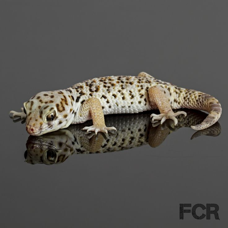 First Choice Reptiles - Frog Eyed Gecko For Sale, $55.00 (http://www.firstchoicereptiles.com/frog-eyed-gecko-for-sale/)